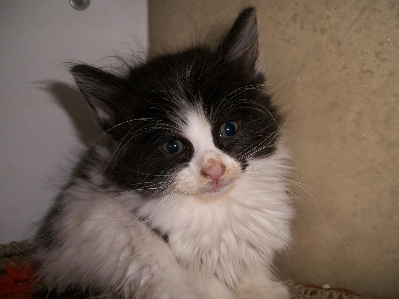 FOOD (chaton mâle angora noir et blanc) 101_2832