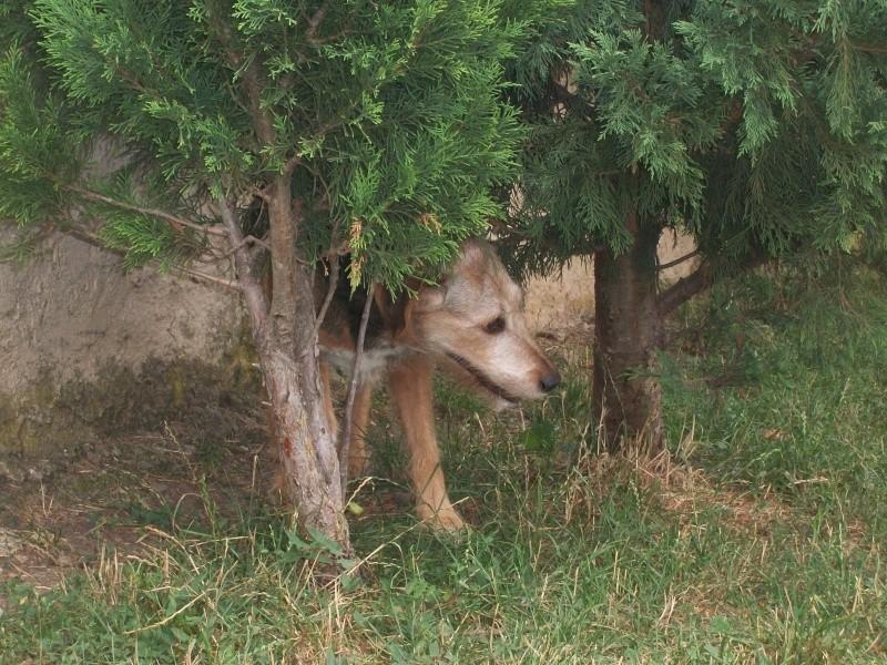 POKER (croisé berger/fox mâle) Extra_14
