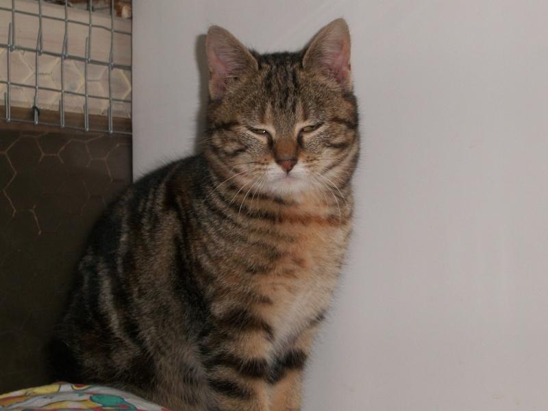 KIARA (européenne tigrée marron)réservée Kiara_16