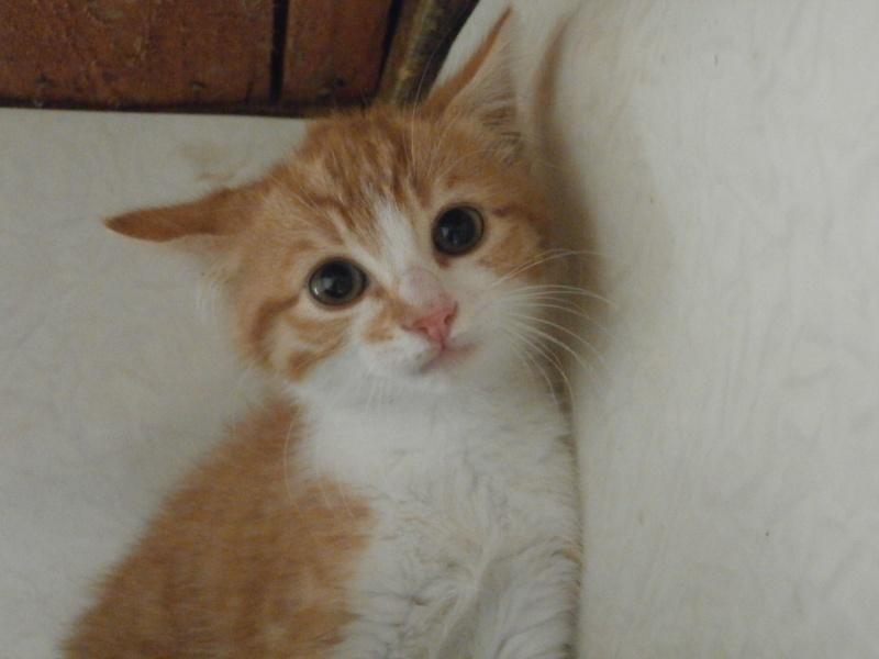 BETH (chatone rousse et blanche) P6154110