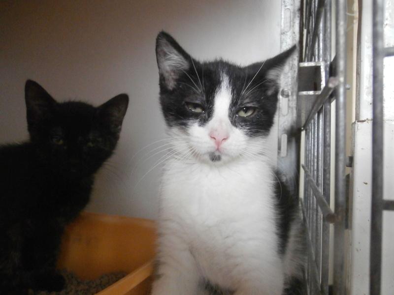 KAHAN (chaton noir et blanc) P7204210