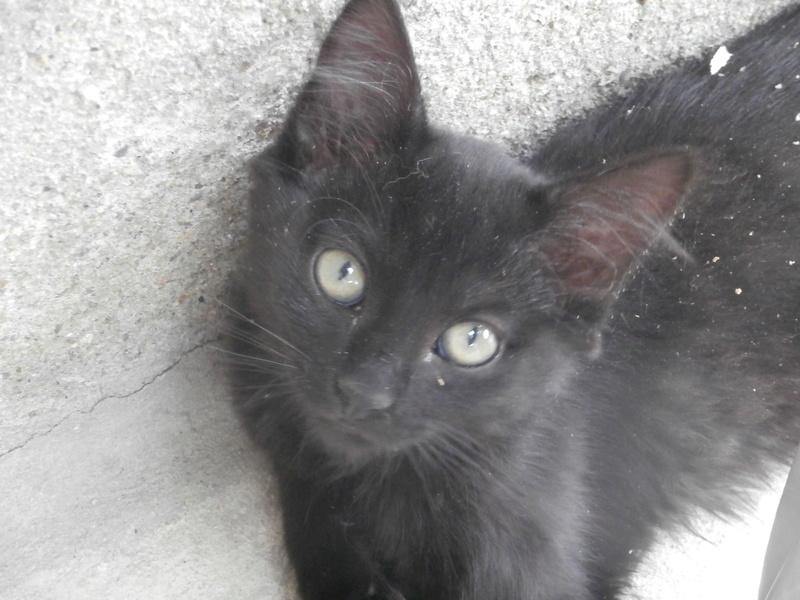 DOMINO (chaton mâle poils mi long) P7204230