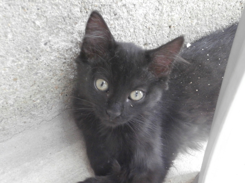 DOMINO (chaton mâle poils mi long) P7204231