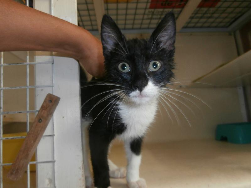 CYCLONE (chaton européen noir et blanc) P7264212