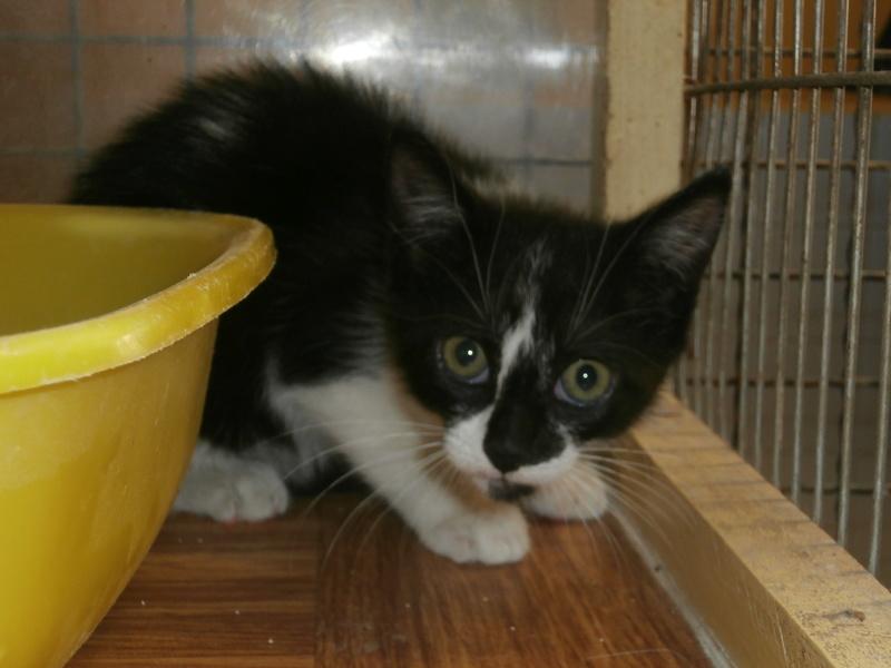 FRAGOLINA (chaton femelle européenne nb) P7294211
