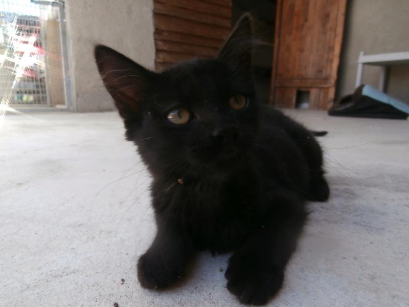 DOMINO (chaton mâle poils mi long) P7294212