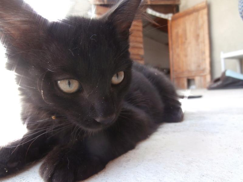 DOMINO (chaton mâle poils mi long) P7294213