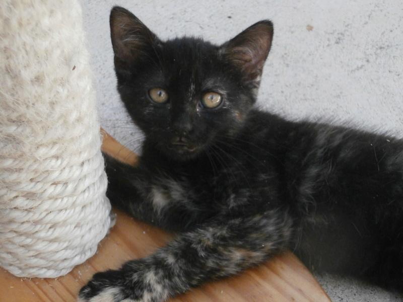 KALIE (chaton femelle écaille de tortue) P7294222