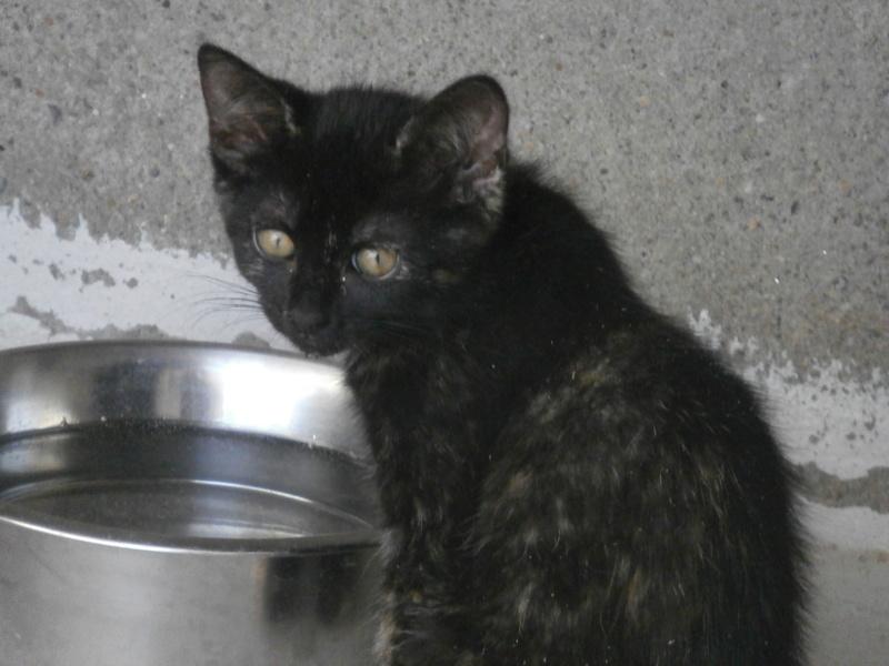 KALIE (chaton femelle écaille de tortue) P7294223