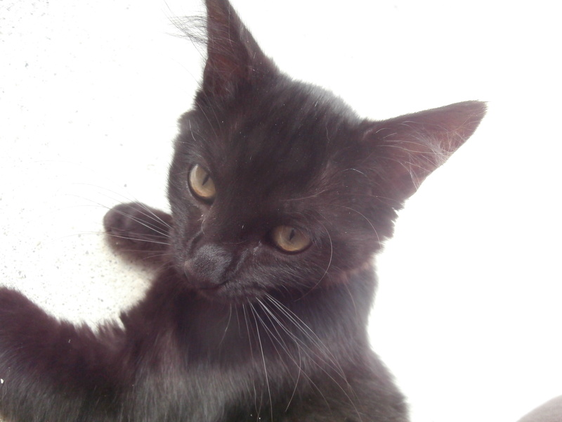 DOMINO (chaton mâle poils mi long) P7304210