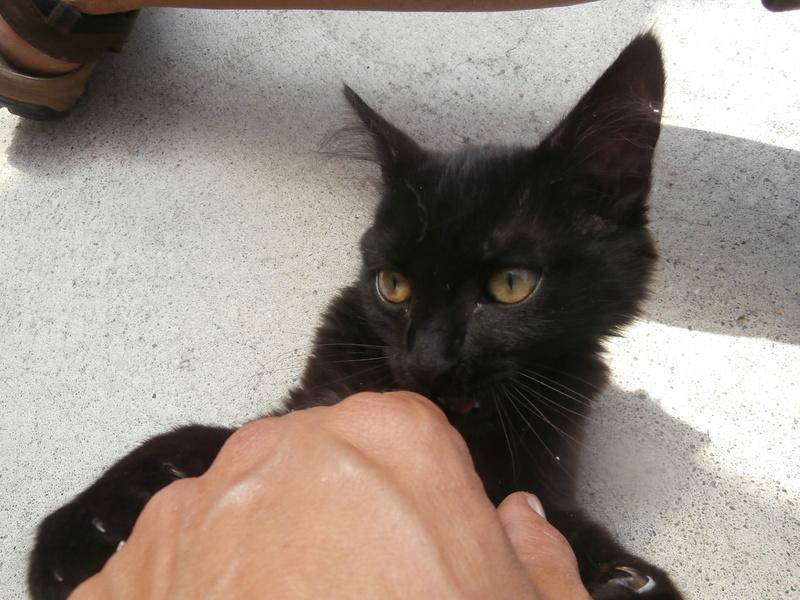 DOMINO (chaton mâle poils mi long) P7304211