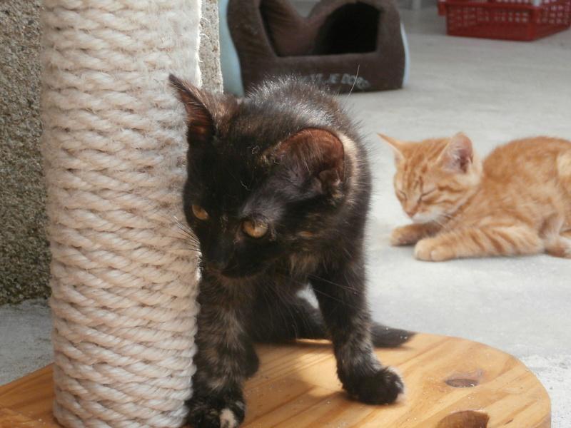 KALIE (chaton femelle écaille de tortue) P7304223