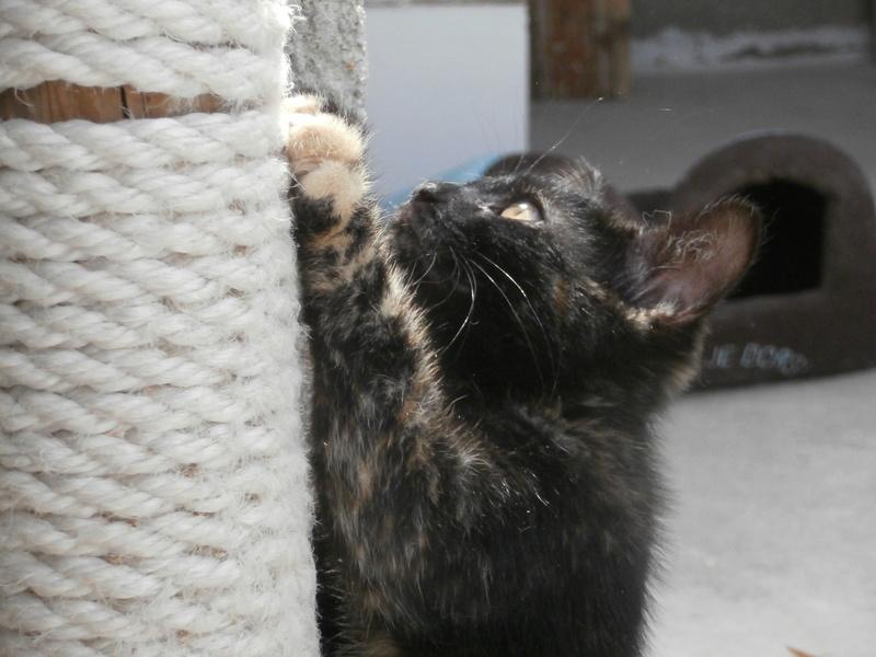 KALIE (chaton femelle écaille de tortue) P7304224