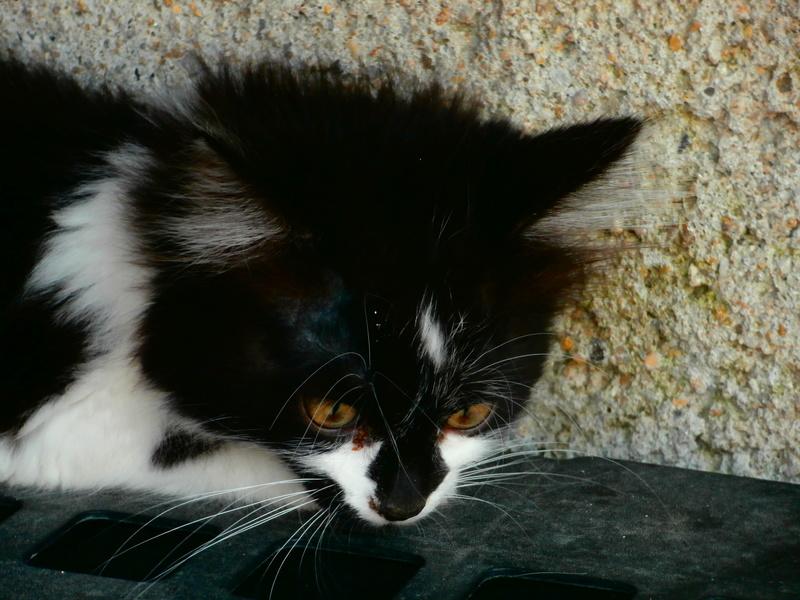 ECHANTILLON (chaton femelle angora nb) P7304228