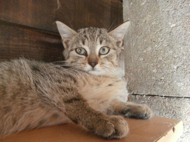 BIDUL (chaton tigré gris) P8284511