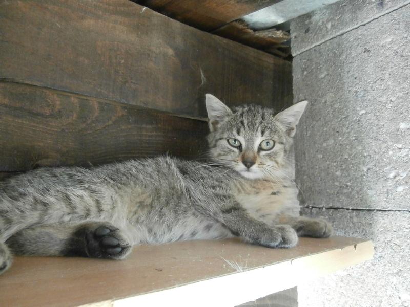 BIDUL (chaton tigré gris) P8284512