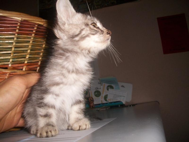 Romy (chaton tigrée claire) Photos13