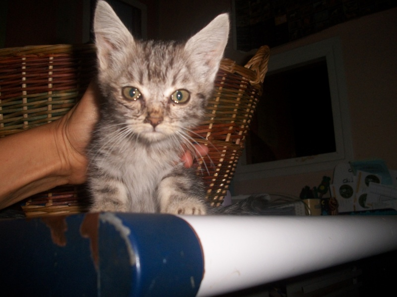 Romy (chaton tigrée claire) Photos15