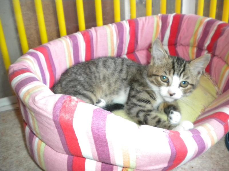 MIKA (chaton tigré et blanc) Refuge14