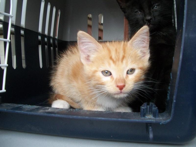 MADRID (chaton femelle rousse et  blanche) Sancho25