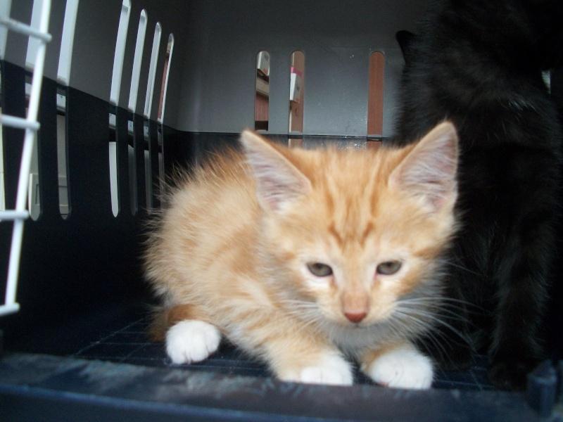 MADRID (chaton femelle rousse et  blanche) Sancho26
