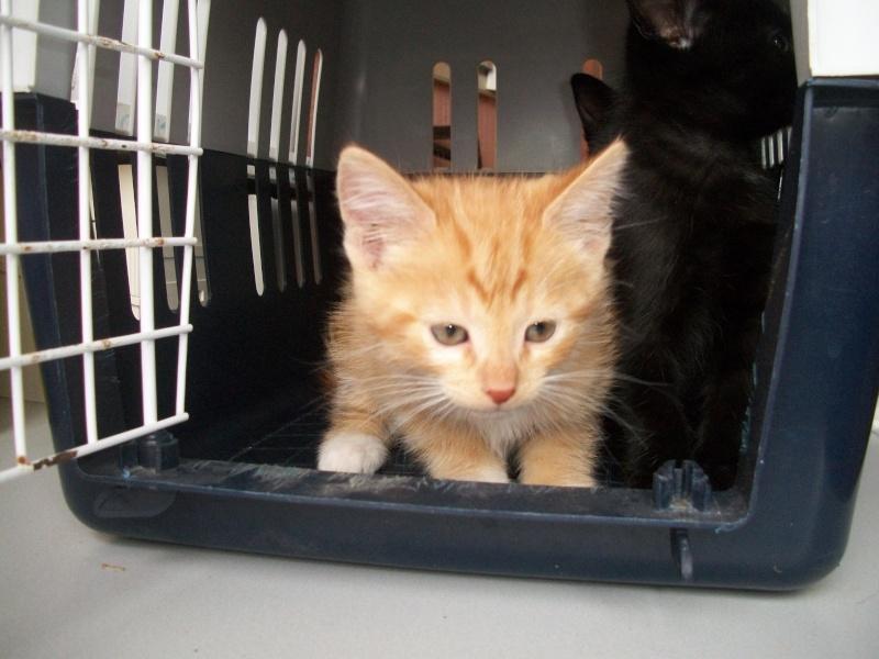 MADRID (chaton femelle rousse et  blanche) Sancho27