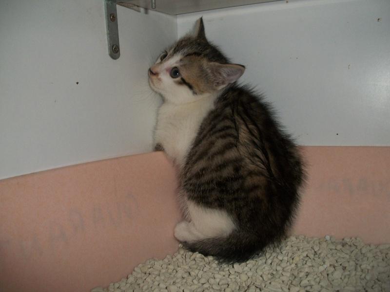 THEMIS (chaton femelle tigrée blanche) Sancho39
