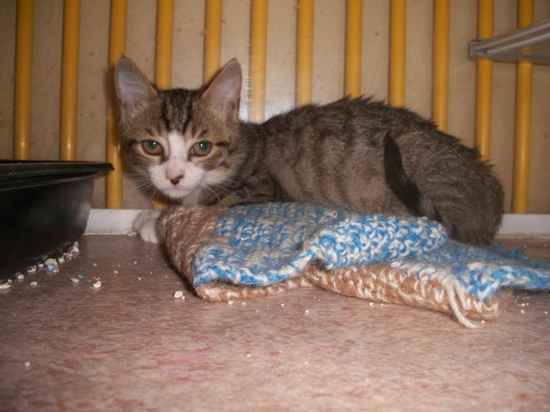 MIKA (chaton tigré et blanc) Wallac16