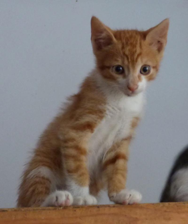 BOUCHON - chaton mâle, né avril 2016 - En FA chez Florin (PASCANI) Boucho10