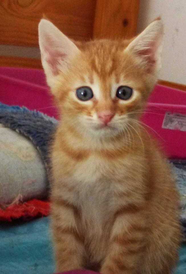 BOUCHON - chaton mâle, né avril 2016 - En FA chez Florin (PASCANI) Boucho11