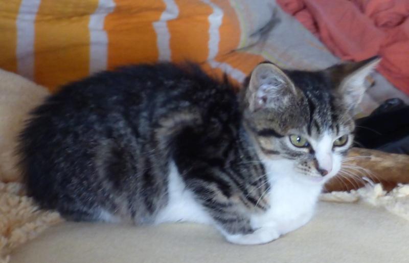 VENUS (ex TITI) - chaton femelle, née avril 2016 - En FA chez Abysse (92) - ADOPTEE PAR ANNE et FATLUM (depart94) Clocha13