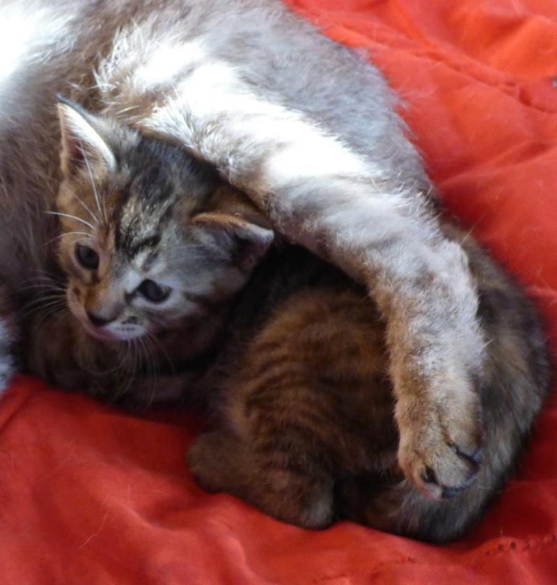 HUSSY - chaton femelle, née en mai 2016 -  adoptée par Magali (Belgique) Hussy10