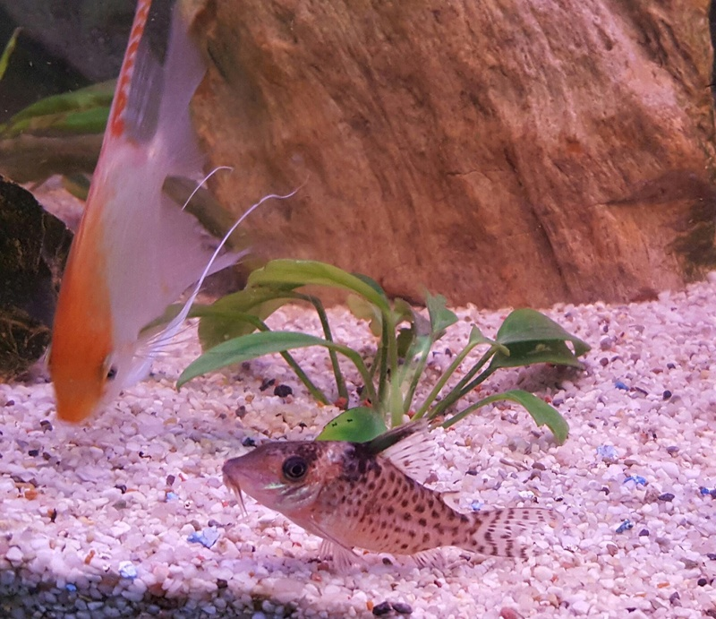 Futurs poissons à la vente Cory_112