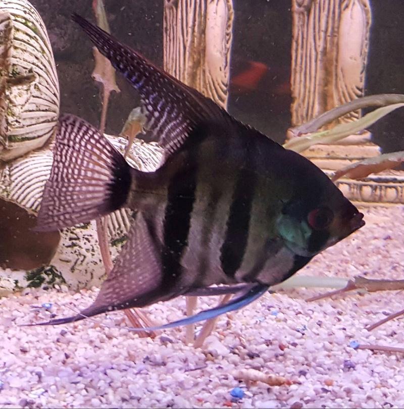 Futurs poissons à la vente Scalai10