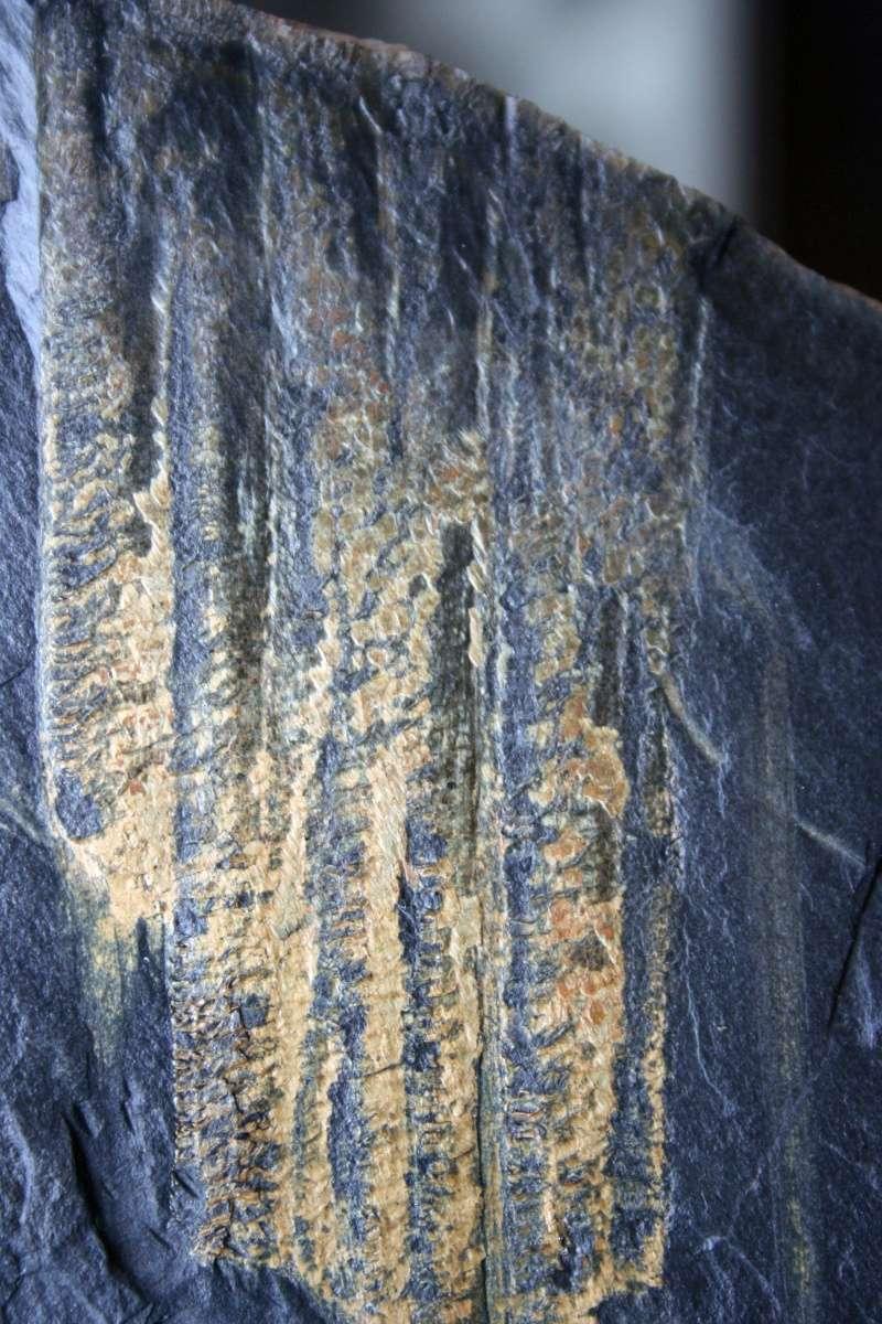 Flore Carbonifère des Alpes Françaises part 1 - Page 4 Img_4315