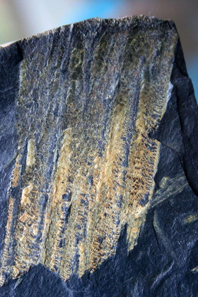 Flore Carbonifère des Alpes Françaises part 1 - Page 4 Img_4316