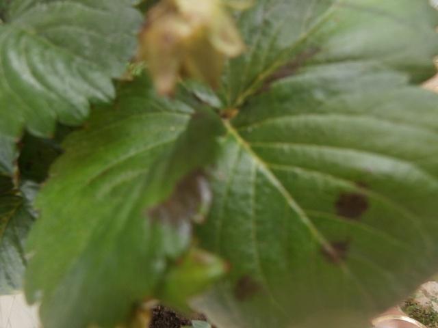 Les feuilles de mes fraisiers Feuill10