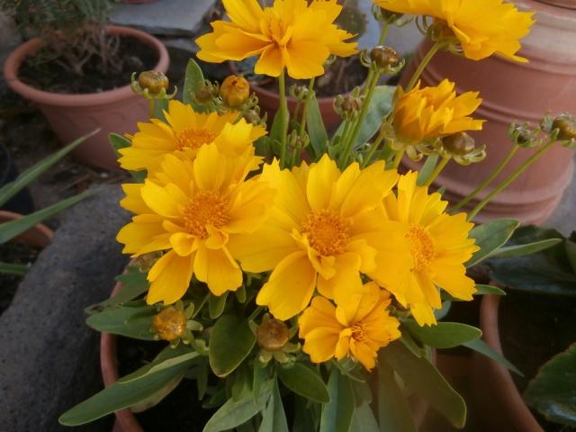 Le nom de cette plante svp.  un coréopsis nain P6210012
