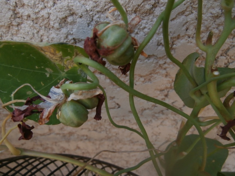 graines de capucines. P6260011