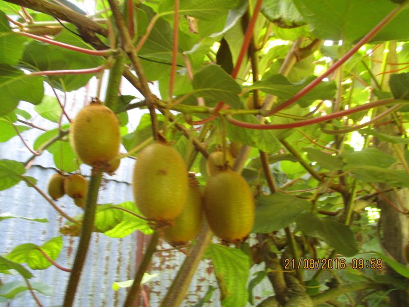 actinidia fruit kiwi - Page 5 Img_1023