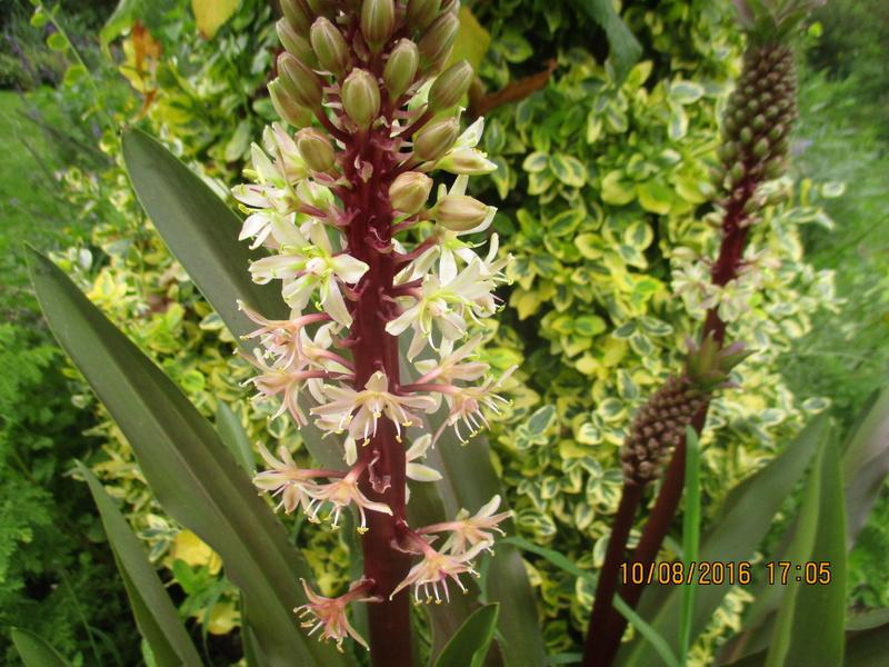 Bulbes de Fleur d'Ananas (Eucomis bicolor) - Page 2 Img_1028