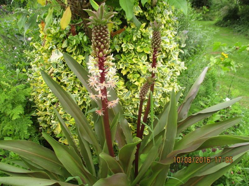 Bulbes de Fleur d'Ananas (Eucomis bicolor) - Page 2 Img_1031