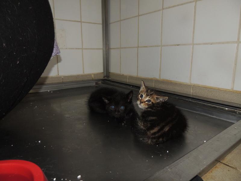 MIKO et NESTEA 2 petits chatons Dimanc89