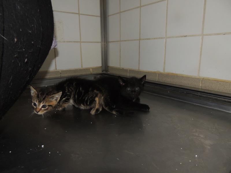 MIKO et NESTEA 2 petits chatons Dimanc90