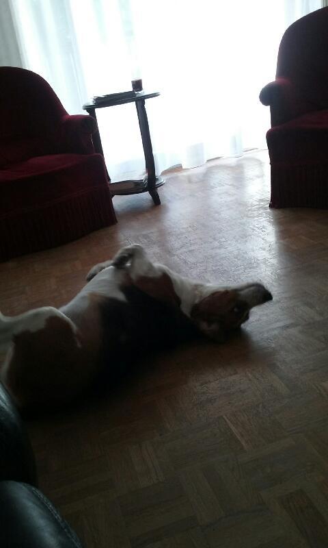 Nouvelles de FILOU le beagle- adopté en juillet 2016. Filou_13