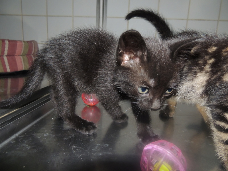Arrivée de 4 chatons Pumba, Mario, Pépito et Pilou Jeudi_38
