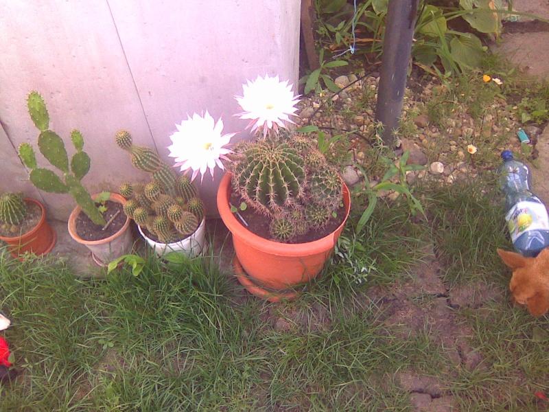 cactusii de toate felurile(ingrijirea si inmultirea lor) !!!!!! - Pagina 2 Imagin63