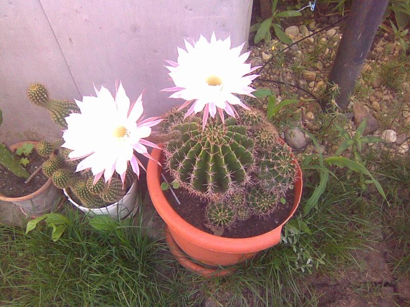 cactusii de toate felurile(ingrijirea si inmultirea lor) !!!!!! Imagin64