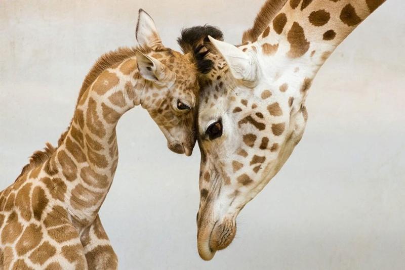 في صور: الأبوة والأمومة في مملكة الحيوان كما لم ترها من قبل Animal17