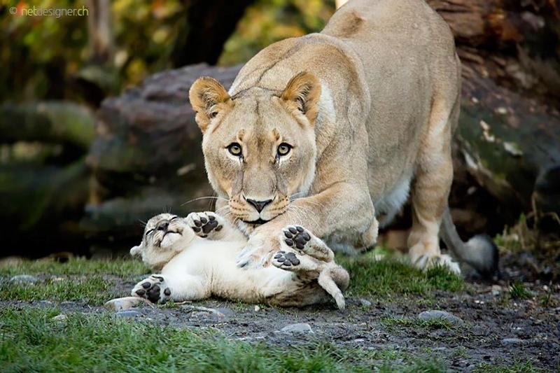في صور: الأبوة والأمومة في مملكة الحيوان كما لم ترها من قبل Animal25